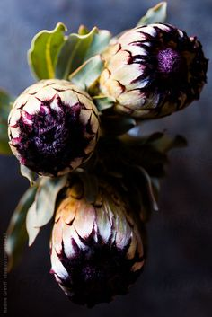 Stock photo of Protea neriifolia South African flower by NadineGreeff South African Flowers, African Lily, King Protea, Desert Plants, African Culture, Garden Statues, Flower Beds, Handmade Flowers, Botany