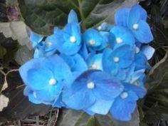 Guará, Brasília - DF, Brasil Hortência azul do meu quintal