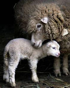 Un agneau et sa maman http://www.lafermedesanimaux.com/