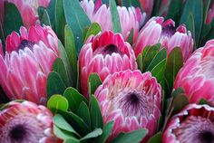 Protea pink ice, shot in Melbourne Australia Proteas are found in Africa , Australia and south America. It is the national flower of South Africa. Flor Protea, Protea Art, Protea Flower, Exotic Flowers, Tropical Flowers, Beautiful Flowers, Cut Flowers, South African Flowers, Trees To Plant