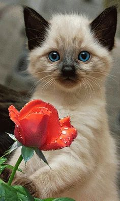 Cute Animals Jpg many Cats And Kittens For Sale Norfolk every How To Draw Cute Animals With Big Eyes Siamese Kittens, Cute Cats And Kittens, I Love Cats, Crazy Cats, Kittens Cutest, Big Cats, Pretty Cats, Beautiful Cats, Animals Beautiful