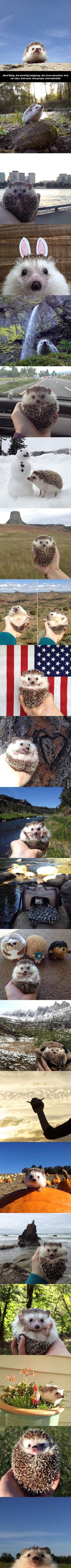 Adventures of Biddy The Hedgehog. So adorable! Gah! Why did my hedgehog have to be so damn grumpy?!