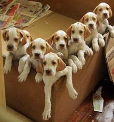 A box full of English Pointer puppies (: English Pointer Puppy, Pointer Puppies, Dogs And Puppies, Doggies, I Love Dogs, Cute Dogs, English Coonhound, Dog Rules, Hunting Dogs