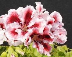 Pelargonium domesticum Aztec
