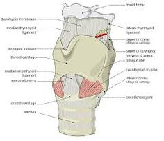 Image result for larynx