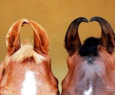 Marwari Horse Ears - American Curl - Ideas of American Curl - Marwari ears The post Marwari Horse Ears appeared first on Cat Gig. All The Pretty Horses, Beautiful Horses, Rare Horse Breeds, Rare Breeds, Marwari Horses, Arabian Horses, American Curl, Horse Ears, Horse Love
