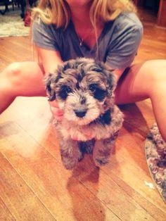 My Aussiedoodle puppy, Huey! #puppy #aussiedoodle #love