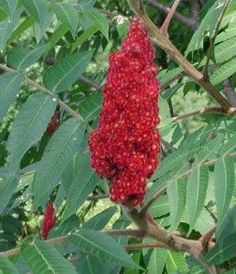 Foraging- Edible Staghorn Sumac. I have tons of these plants on our property. You can eat the seeds, make tea from them or eat the new, tender growth.