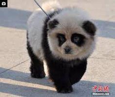 Risultati immagini per panda chow