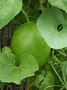 Amazon.com : *SHOWY*RARE* GIANT CANNONBALL GOURD *7 SEEDS* #1177 : Vegetable Plants : Garden ...