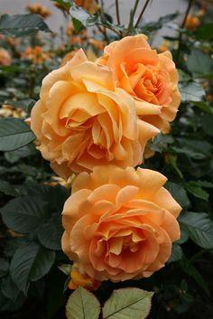 rosa goldelse