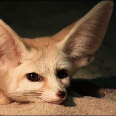 The Fennec Fox is the smallest of all the world's foxes, but its large ears, measuring 6 inches (15 centimeters), appear to be on loan from a bigger relative.
