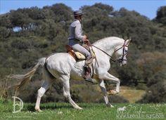 PRE Andalusian stallion Zareno