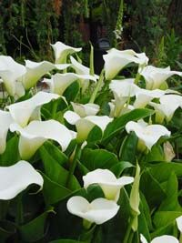 Zantedeschia validating