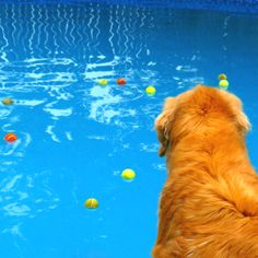 A Golden's Dilemma #golden #retriever #dog