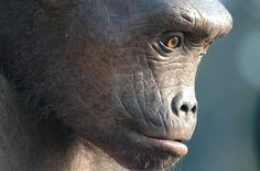 Toumaï, le nouvel ancêtre de 7 M années ! découvert en 2001 au Tchad.