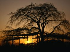 Cherry Tree in Maruyama-Koen Park at Sunset, Kyoto, Japan Photographic Print by Martin Moos at Art.com