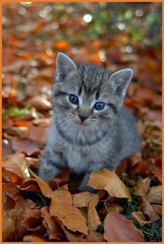 two of my favorite things Grey Kitten, Grey Cats, Cute Cats And Kittens, Kittens Cutest, Fall Cats, Autumn Animals, Gato Grande, Photo Chat, Curious Cat