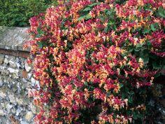 Types of Fragrant Climbing Plants Love Garden, Garden Care, Garden Ideas, Honeysuckle Flower, Climbing Vines, Vash, Clematis, Backyard Landscaping, Flowers