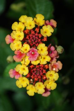 Lantana s grow best in sun great heat drought tolerance