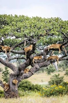 Where do lions come from?...They grow on trees!!