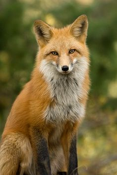 Red Fox by Tundra Winds Images by Donna Dannen