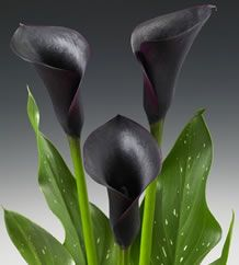 Calla Lily Cantor  ZANTEDESCHIA MINI DWARF HYBRID	  	Help	       	 	  A gorgeous and dark black calla lily. Calla Lily Cantor boasts tall, upright blooms with a glossy deep purple/black hue. Leaves are medium green, very lanceolate and flecked with white.   A true collector's calla lily.  Plant height: 12-17 inches