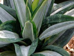 Sansevieria hahni 'Silver Streak' Sansevieria Plant, Sansevieria Trifasciata, Succulent Outdoor, Outdoor Plants, Cactus, Growing Gardens, Bottle Garden, Unique Plants, Interior Plants