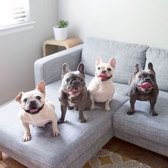 "Friends are the family YOU get to pick"", French Bulldogs  @henryandpenny #frenchie"