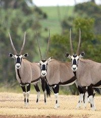 An hour Express Game Drive through the Villiera Wildlife Sanctuary guarantees vi… – Animal Kingdom On A Clear Day, Kruger National Park, In Vino Veritas, Impala, Animal Kingdom, Mammals, South Africa, Safari, Animales