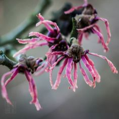 #flowers #flower  #beautiful #pretty #plants #blossom #spring #flowerstagram #flowersofinstagram #flowerslovers #botanical #floral #florals #instablooms #bloom #blooms #floweroftheday #macro #macrophotography #witchhazel  #ig_flowers #superb_flowers #insta_pick_blossoms #bomdever_flower #bns_flowers #ip_blossoms #myheartinshots #lovely_flowergarden #bns_flowers #ip_blossoms