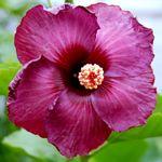 Exotic Hibiscus 'Petit Claret'