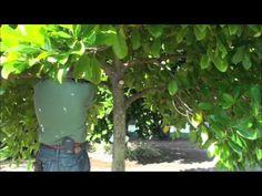 Pruning Jackfruit - YouTube
