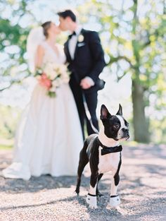 This boston terrier stole the spotlight during this bride and groom's wedding shoot: http://www.stylemepretty.com/missouri-weddings/st-louis/2016/08/12/bright-and-beautiful-croatian-wedding-with-boston-terrier/ Photography: Mike Cassimatis - http://mnc-photography.com/