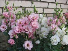 Эустома – очень привлекательное растение с сизыми, словно покрытыми воском, листьями и крупными воронковидными простыми или махровыми цветками нежных оттенков. Цветки у эустомы крупноцветковой достига… Gardening Tips, Floral Wreath, Floral Crown, Garlands, Flower Crown, Garland