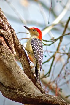 Red-bellied Woodpecker 0681 by Bill McCormack**