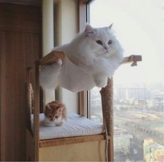 cats funny & beautiful cats for cats love! cats and kittens, beautiful cats, pretty cats pretty cats breeds pictures Cute Kittens, Cats And Kittens, Cats Bus, Siamese Cats, Fluffy Kittens, Ragdoll Cats, I Love Cats, Crazy Cats, Cool Cats