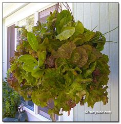 Wire and moss basket of lettuce...awesome looking!