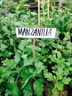 Manzanilla Spices, Herbs, Spice, Herb, Medicinal Plants