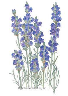 Lavender Hidcote Dwarf Seeds