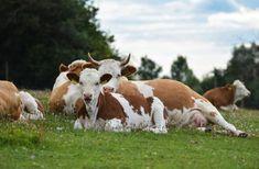 Erlebnis Bauernhof Schmid | Erlebnis Bauernhof Cow, Animals, Animales, Animaux, Cattle, Animal, Animais