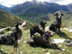 Ancient european herding dog breed from north Spain Rare Dog Breeds, Herding Dogs, Rough Collie, Shepherd Dogs, Sheltie, Animals And Pets, Doggies, Dog Cat, Hunting