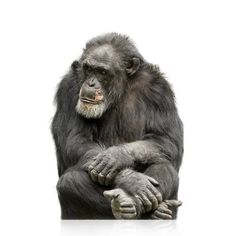 In this fascinating study, researchers find further proof that the divergence of humans from chimpanzees 4-6 million years ago was profoundly influenced by mutations to DNA sequences.