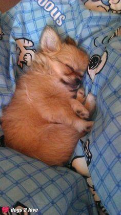 Chihuahua naptime