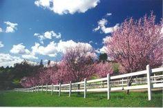 Prunus Plum Tree And Display On Pinterest