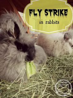 Fly Strike in Rabbits - The Cape Coop Meat Rabbits Breeds, Raising Rabbits For Meat, Rabbit Breeds, Angora Rabbit, Pet Rabbit, Rabbit Farm, Bunny Care, Work With Animals, Rabbit Hutches