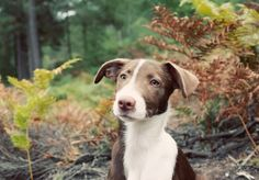 Whippet Collie Cross - I didn't know there was such a perfect combination!