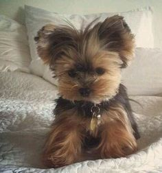 Yorkshire Terrier Big The many things we admire about the Sprightly Yorkie Puppies Teacup Puppies, Cute Puppies, Cute Dogs, Dogs And Puppies, Teacup Yorkie, Poodle Puppies, Shorkie Puppies, Pomeranian Dogs, Adorable Babies