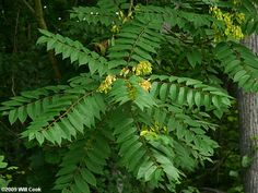 ailanthus altissima - known as tree of heaven, actually tree of HELL