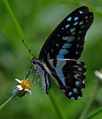 common jay butterfly - Google Search